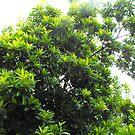 Sapodilla Tree Top by 4spotmore