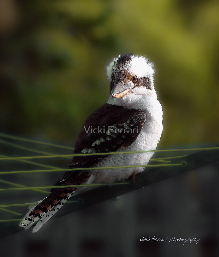 Kookaburra Hoists on the Hills © Vicki Ferrari Photography by Vicki Ferrari