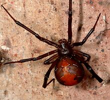 The infamous Aussie Redback Spider (1) by Trevor Needham