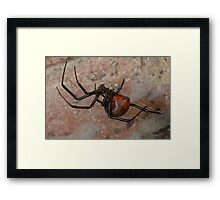 The infamous Aussie Redback Spider (2) Framed Print