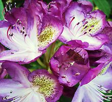Rhododendron Sensation by JuliaWright