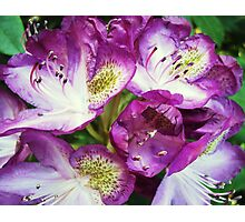Rhododendron Sensation Photographic Print