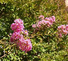 Pink Shrub in Melbourne by kalaryder