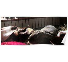 Baby Wombat sleeping Poster