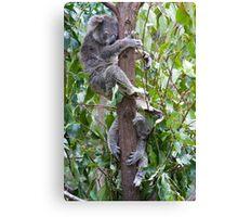 Sleeping Koalas Canvas Print
