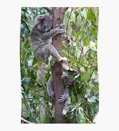 Sleeping Koalas Poster