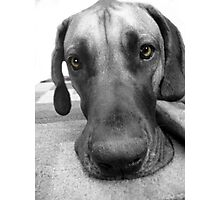 Big Dog with Brown Eyes Photographic Print