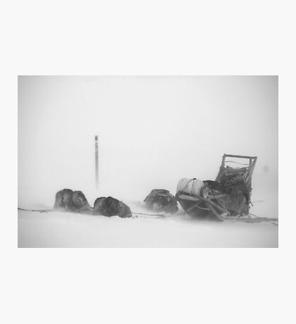 Dogs in the snow storm Photographic Print