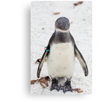 African penguin (Black-footed Penguin) Metal Print