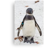 African penguin (Black-footed Penguin) Canvas Print