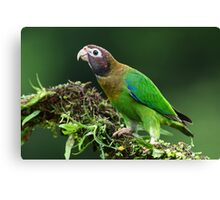 Brown-hooded parrot - Costa Rica Canvas Print
