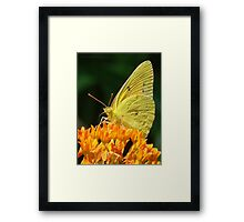 Cloudless Sulphur On Butterfly Weed Framed Print