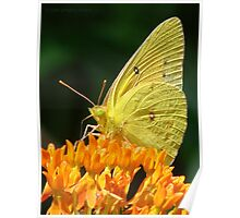 Cloudless Sulphur On Butterfly Weed Poster