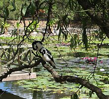 Two Birds at the lilly pond, Mt Cootha botanic gardens, Brisbane, QLd. Australia by Marilyn Baldey