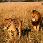 Lioness & Male Lion in the Marsh by Kevin Jeffery