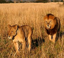 Lioness & Male Lion in the Marsh by Kevin Jeffery