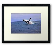Humpback Whale Breaching Near Puerto Lopez, Ecuador Framed Print