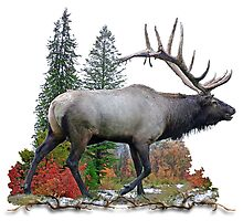 Bull elk by saltypro