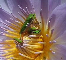 Love in a lily pond by robmac