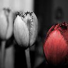 Red Tulip by firesnap