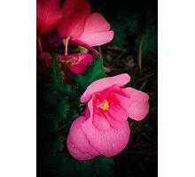 Pink Begonia Photographic Print