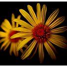 Daisy by Greig Nicholson
