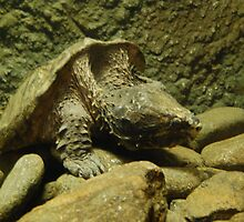 Alligator Snapping Turtle by 2Daphne