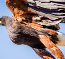 Harris's Hawk About to Launch Sticker