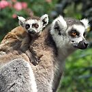 Ring-tailed Mother & Baby by Amanda White