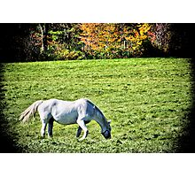 White Horse In Field Photographic Print