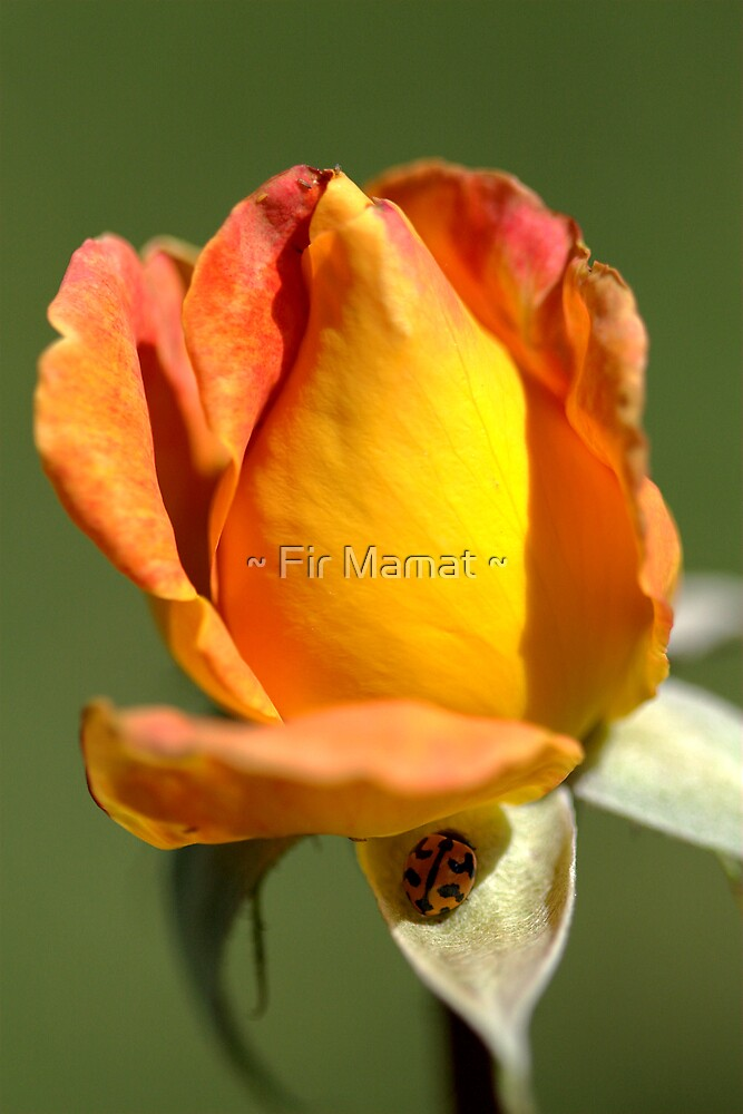Orange Beauty by ~ Fir Mamat ~
