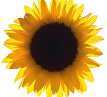 Large Single Sunflower Eclipse by O O
