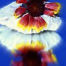 Gaillardia by Cathy O. Lewis