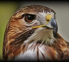 Red-Tail Hawk by Tim Holmes
