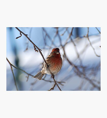 Red Finch - Male (purple finch ) Photographic Print