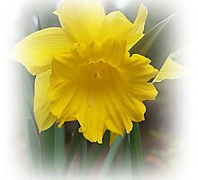 Narcissus Daffodil In It's Beauty by Jonice