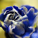 Blue & White Carnation by Kimberly Palmer