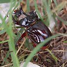 Rhinocerous Beetle by BiGPaPa