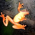 Clown Tree Frog on Glass by Johnny Furlotte