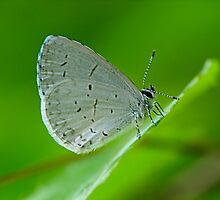 Tiny Butterfly by Ron Alcorn