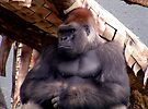 Mountain Gorilla Silverback by Johnny Furlotte