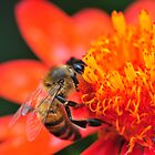 Honeybee in Mexican Firebush by Golden Richard