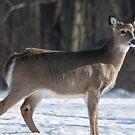 christmas day deer by jude walton