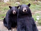 Bosom Bear Buddies by Johnny Furlotte