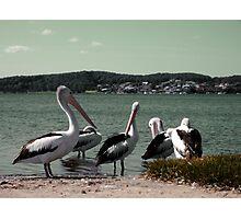 Pelican Clan Photographic Print