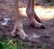 Ostrich Feet by Johnny Furlotte