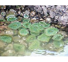 Sea Anemones Photographic Print