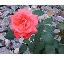 Dew Kiss Upon the Rose Photographic Print