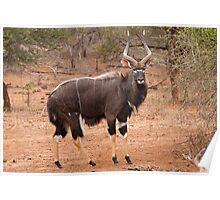 Nyala, Kruger National Park, South Africa Poster