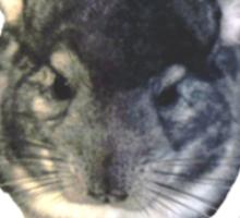 The chinchilla knows Sticker